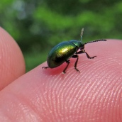 160920-mint-leaf-beetle-chrysolina-herbacea