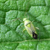 160920-potato-capsid-closterotomus-norwegicus