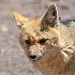 160921-andean-fox-1