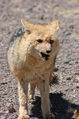 160921-andean-fox-3