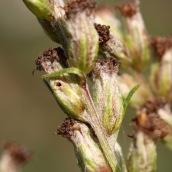 160926-coleophora-artemisicolella-3