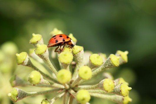 160930-ladybird-on-ivy