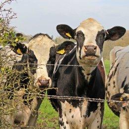 161003-marys-cows-3