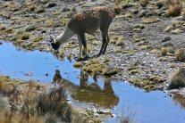161005 llamas (2)