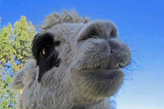 161005 llamas (3)