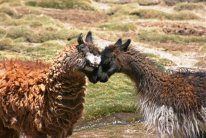 161005 llamas (4)