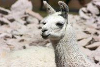 161005 llamas (5)