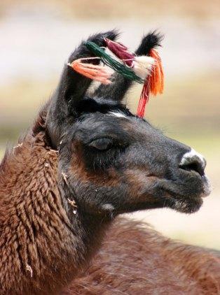 161005 llamas (6)