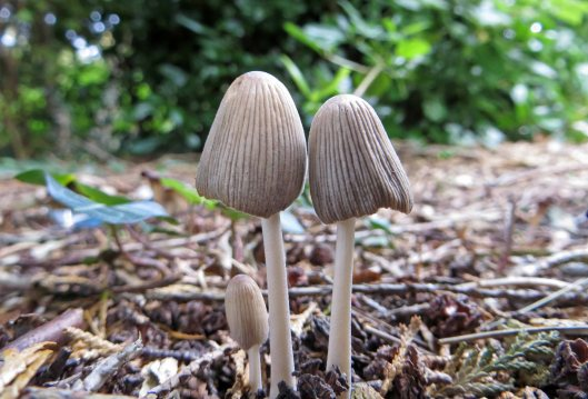 161008-coprinopsis-atramentaria-common-inkcap