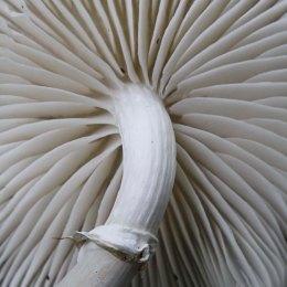 161010-porcelain-fungus-5