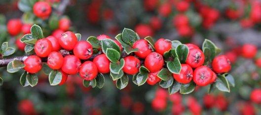 161018-berries-1