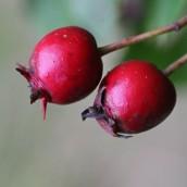 161018-berries-7