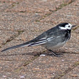 161023a-pied-wagtail