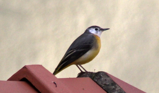 161023c-wagtail