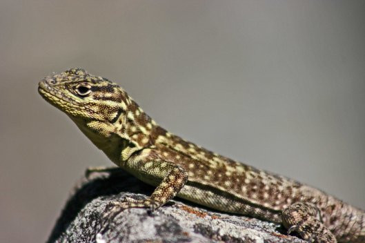 161026-spiny-whorltail-iguana-1