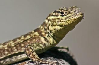 161026-spiny-whorltail-iguana-2