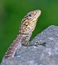 161026-spiny-whorltail-iguana-3