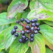 161029-berries-1
