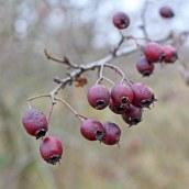 161029-berries-3