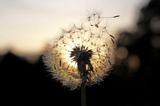 161103-dandelion