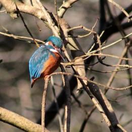 161109-british-kingfisher