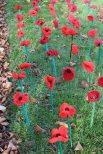 161111-poppies-1