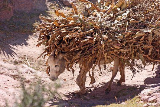 161116-donkeys-peru-2