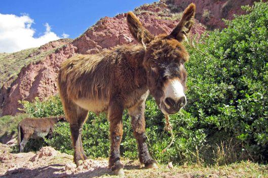 161116-donkeys-peru-6
