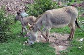 161116-donkeys-peru-9