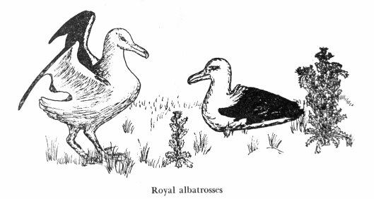 161119-royal-albatrosses