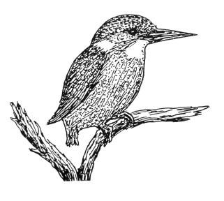 161126-gillham-kookaburra