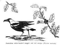 161126-gillham-magpie