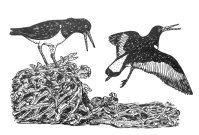 161126-gillham-oystercatchers