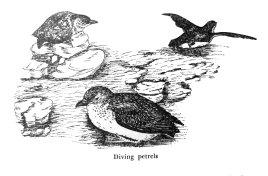 161126-gillham-petrels
