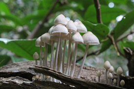 161129-mycena-fungi-1