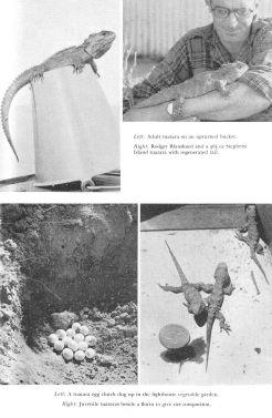 161130-mary-gillhams-tuataras