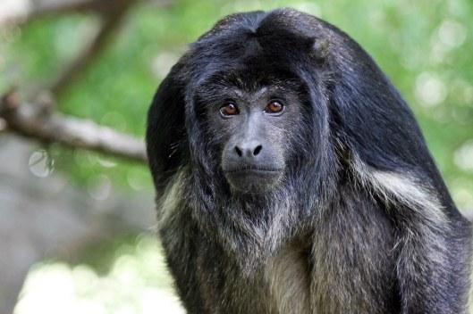 161207-black-howler-monkey-1