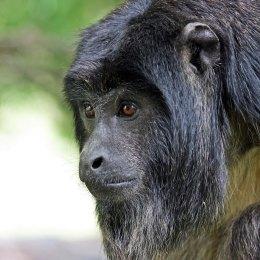 161207-black-howler-monkey-3