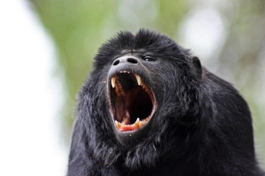 161207-black-howler-monkey-4