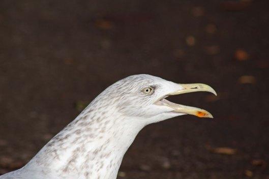 161208 gull singing (1)