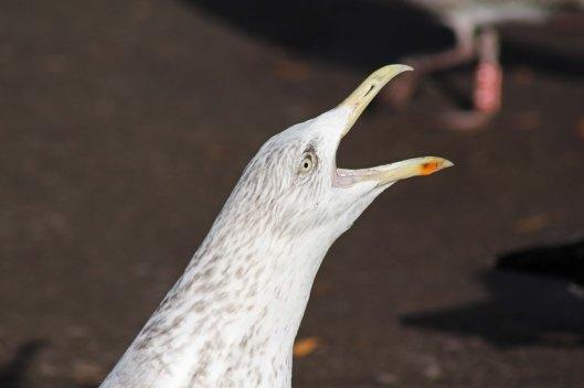 161208 gull singing (3)