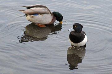 161212-1-tufted-duck-mallard