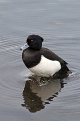 161212-2-tufted-duck