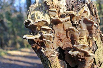 161215-tripe-fungus-5