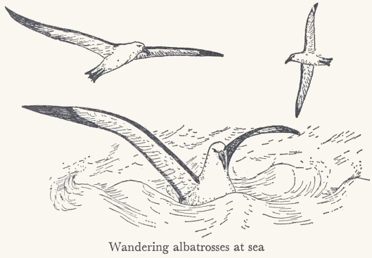 161224-mary-gillham-albatross-drawing-1