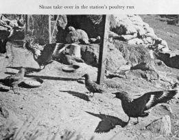 161225-skuas-on-macquarie-6