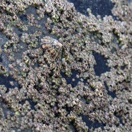 170112-barnacles-3