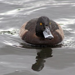 170115-tufted-duck-female
