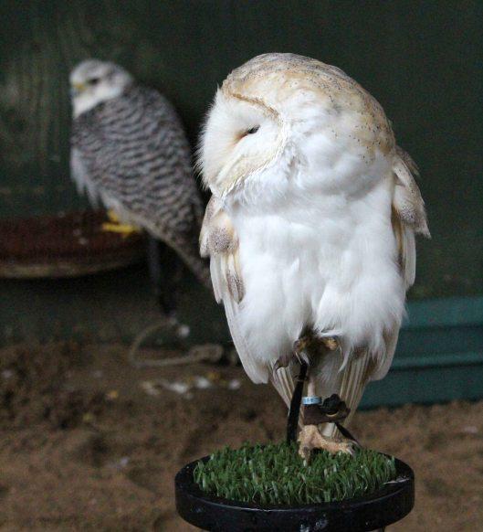 170116-barn-owl