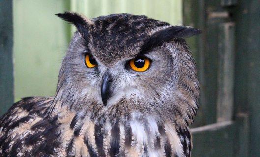 170116-eagle-owl-1